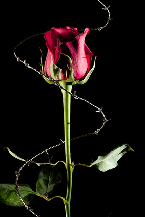 a rose wrapped with barbed wire